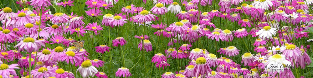 Bright and beautiful coneflowers in Spokane's Manito Park